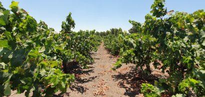 על אקלים וחדשנות בתעשיית היין